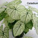 caladium